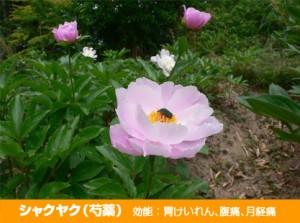syakuyaku_011